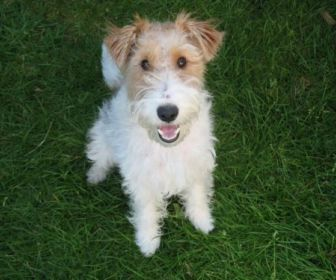 Cachorro da raça fox terrier gravará O Tempo Não Para